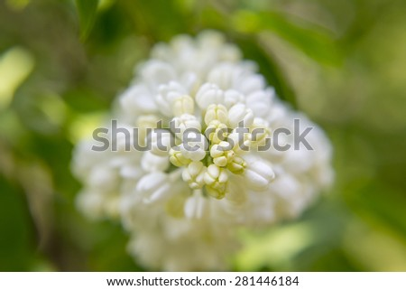 Macro image of spring lilac white flowers, floral background close up - stock photo