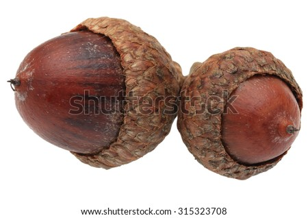 Macro image of twin acorns isolated against a white background - stock photo