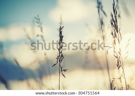 Macro image of wild grasses at sunset, small depth of field. Vintage effect. Beautiful rural nature - stock photo
