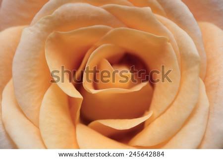 macro image of yellow rose - stock photo