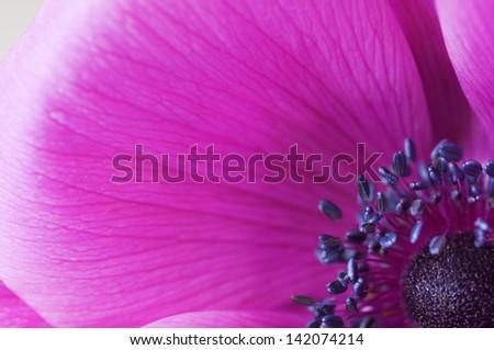 macro inside a purple anemone flower - stock photo