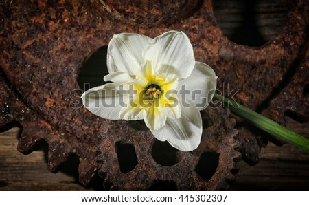 macro narcissus on the background of rusted gears and wood