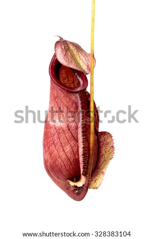 macro  Nepenthes Ampullaria on white background