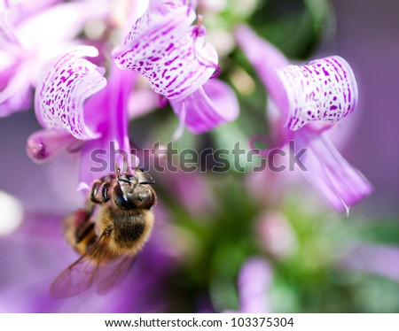 Macro of a African honey bee sucking nectar from a bright purple ribbon bush - stock photo