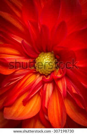Macro of a Beautiful Red Orange Dahlia Flower - stock photo