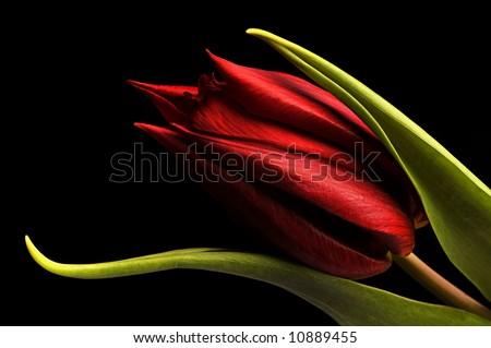 macro of a beautiful red tulip on black background. - stock photo