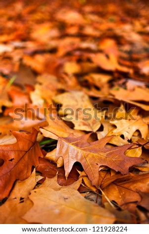Macro of a bed of fallen oak leaves outdoor with selective focus - stock photo
