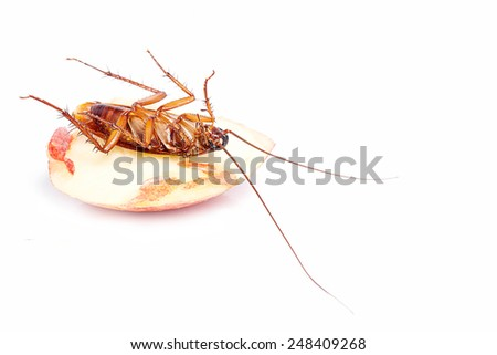 Macro of a Big Brown Cockroach  dead - stock photo
