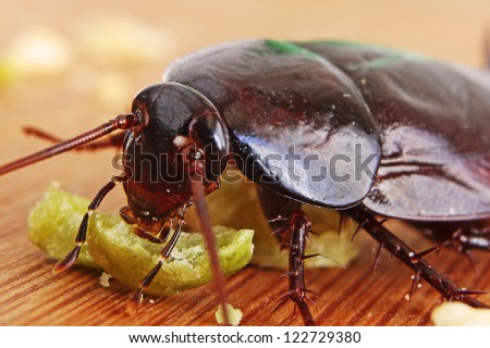 Macro of a Big Brown Cockroach eating crumbs - stock photo