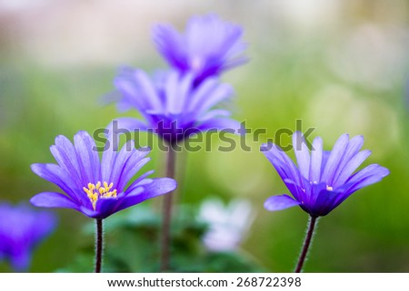 Macro of a blue Balkan Anemone in spring, germany - stock photo