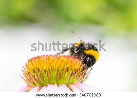 Macro of a bumblebee collecting nectar on Echinacea flower - stock photo