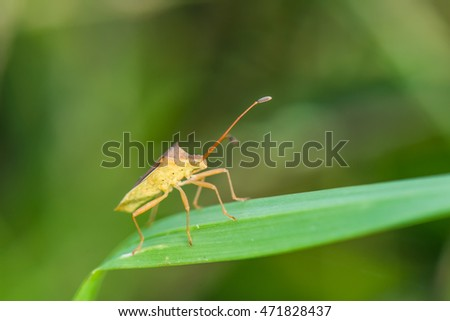 Macro of a coreid bug on green nature background