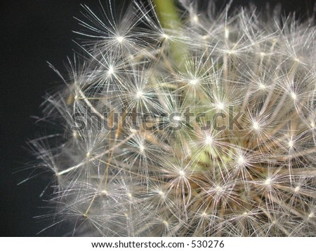 macro of a dandelion seedhead over a dark background