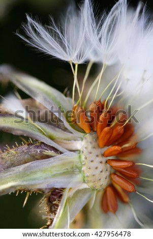 Macro of a dandelion seeing seeds from a portuguese meadow - stock photo