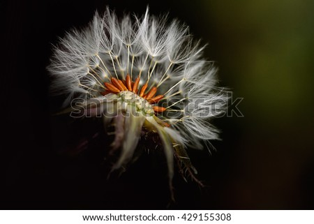 Macro of a dandelion seeing seeds from a portuguese meadow