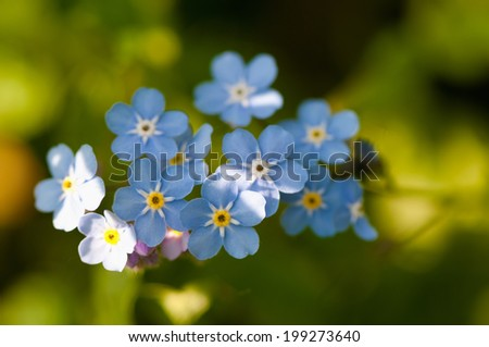 Macro of a forget-me-not flowers