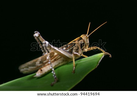 Macro of a grasshopper on the leaf