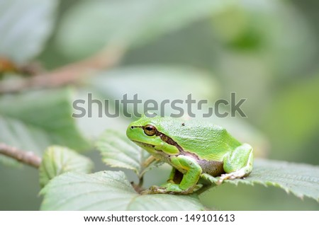 Macro of a green european tree frog, hyla arborea, sitting on leaves.