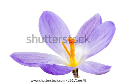 Macro of a isolated purple crocus flower - stock photo