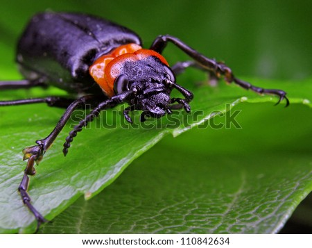 Macro of a Large Black and Orange Beetle resting on a leaf in narrow focus - stock photo