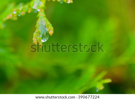 Macro of a raindrop on a white cedar twig against a bright green background (shallow DOF, selective focus on the drop) - stock photo