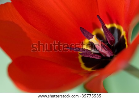 macro of a red tulip