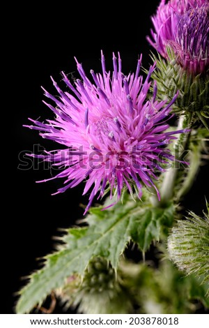 Macro of a thistle flower isolated on black background