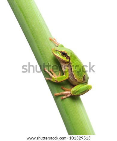 macro of a tree frog sitting on a stem isolated on white