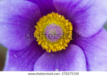 Macro of a violet pasque flower in spring - stock photo