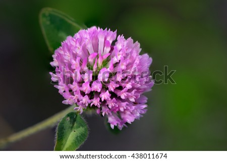 Macro of a wild flower from a portuguese meadow. Shallow DOF. - stock photo