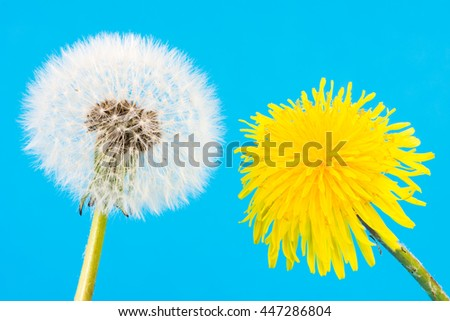 Macro of a yellow dandelion and blowball with seeds