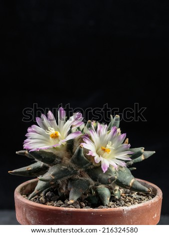 Macro of an isolated blooming Ariocarpus cactus blossom in front of a one colored background - stock photo