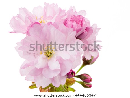 Macro of an isolated twig with pink cherry blossoms