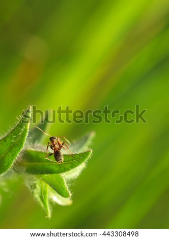 Macro of ant on fluffy monkswort (Nonea pulla) leaf over green meadow background - stock photo