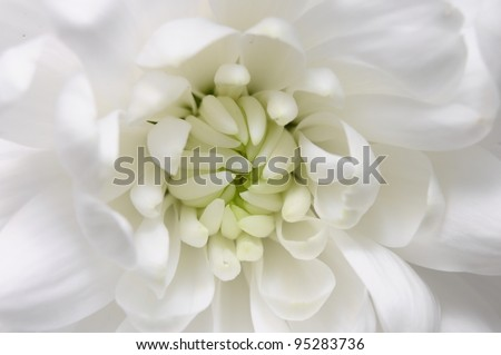 Macro of aster white flower  - stock photo