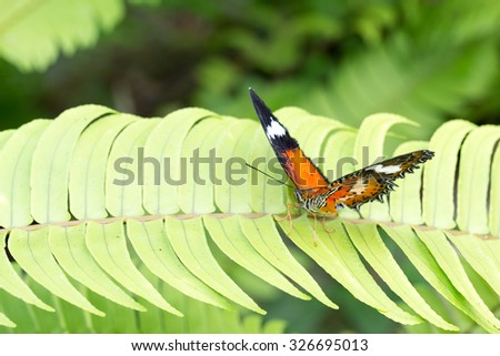 macro of beautiful Monarch Butterfly in garden, Indonesia, Bali, Butterfly park