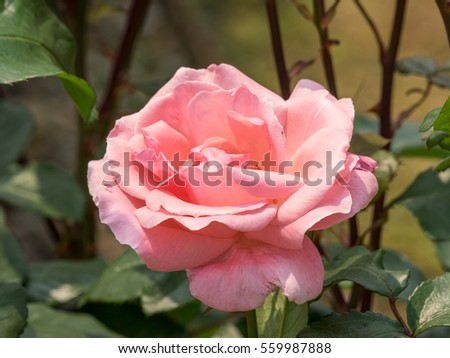 Macro of beautiful pink rose in garden.