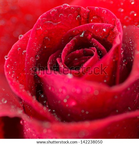macro of beautiful red rose
