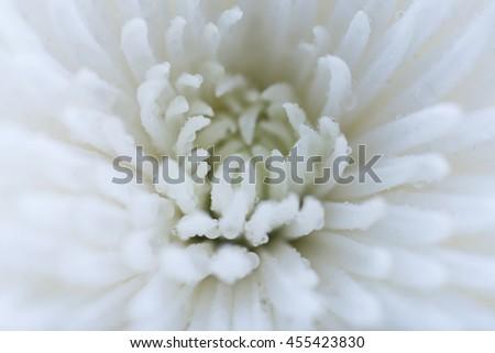 Macro of beautiful white chrysanthemum - stock photo
