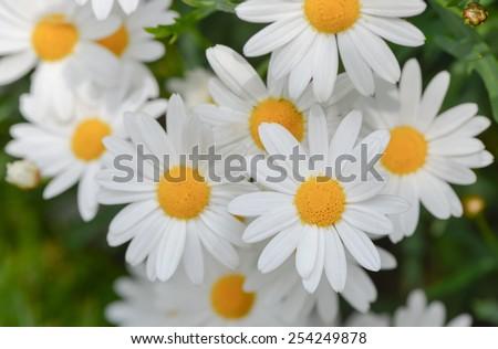 macro of beautiful white daisies flowers - stock photo