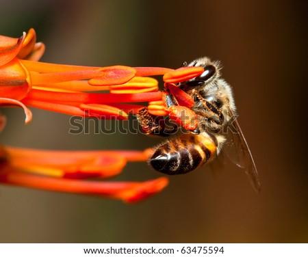 Macro of bee hanging onto a orange flower - stock photo