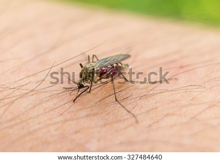 Macro of biting mosquito on the human arm - stock photo