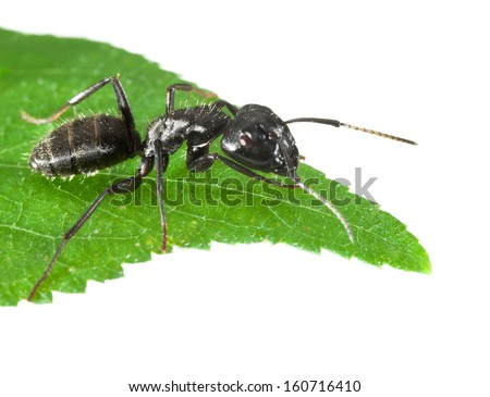 Macro of black ant sitting on leaf tip isolated on white  - stock photo