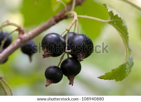 Macro of black currant bunch lying on green leaves - stock photo