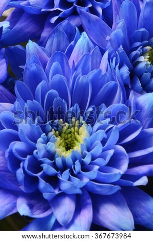 Macro of Blue aster flower petals