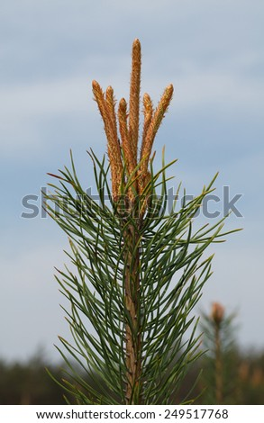Macro of bud on pine fir tree top at spring over blue sky and forest background - stock photo