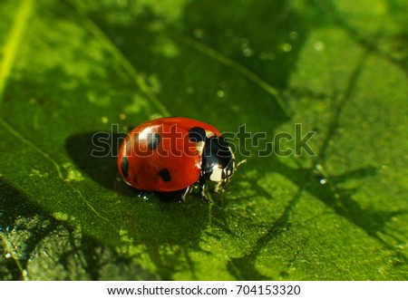 Macro of bug insect (Ladybug) red and dot black color close up on the green leaf or leave in nature