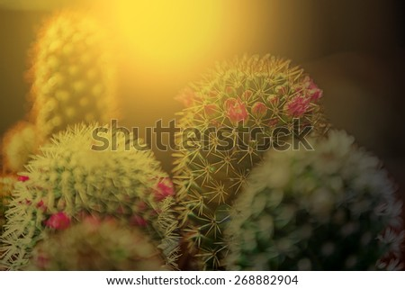 Macro of cactus flower blooming in sunset light. Image digitally manipulated. - stock photo