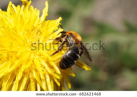 Macro of Caucasian fluffy brown bee Andrena on yellow dandelion in spring