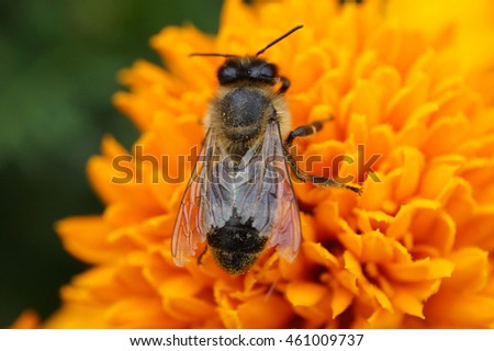 Macro of Caucasian honeybee Apis mellifera sitting on yellow inflorescence Tagetes